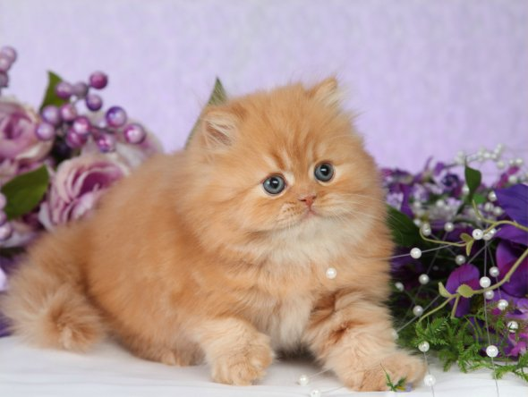 Red Teacup Persian Kitten