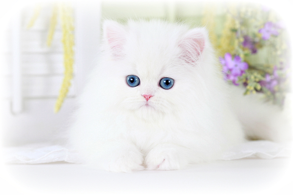 Persian Cat Baby White