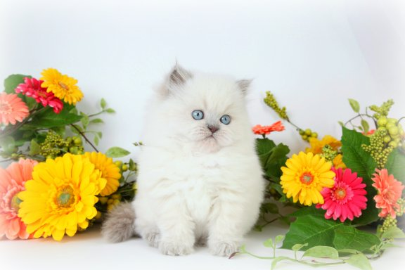 Blue Bi-Color Point Teacup Himalayan Kitten