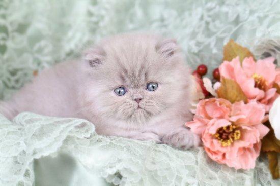 Lilac Persian Kitten