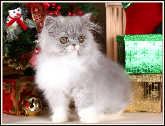 Lilac & White Bi-Color Teacup Persian Kitten
