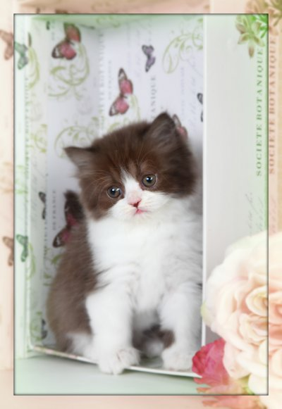Chocolate and White Persian kitten