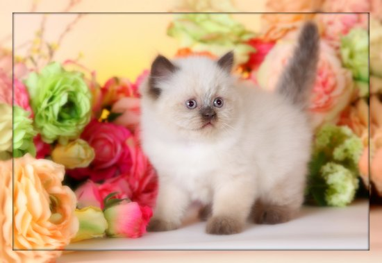 Chocolate Point Teacup Himalayan Kitten