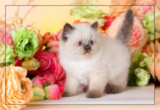 Chocolate Point Teacup Himalayan Kitten