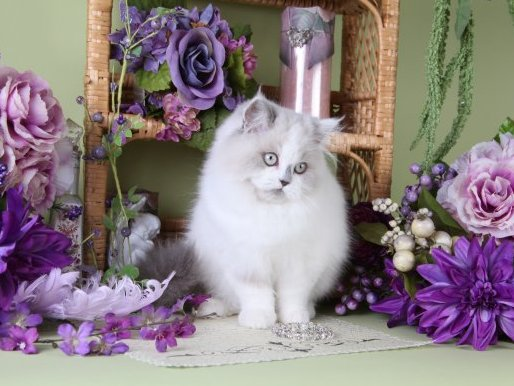 Lilac Bi-Color Point Teacup Himalayan Kitten