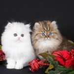 Silver and Golden Teacup Kittens