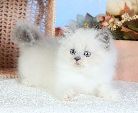 Blue Bi-Color Point Teacup Himalayan Kitten