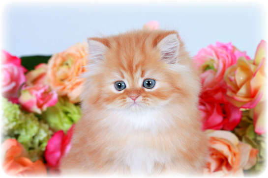Red Tabby Teacup Persian KittenPre-Loved Persian Kittens ...