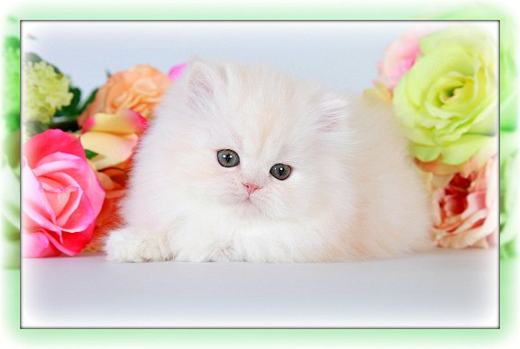 Champagne Persian Kitten