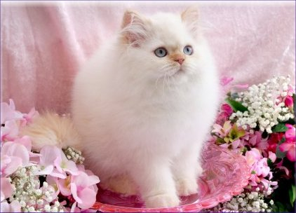 Flame Bi-Color Point Teacup Himalayan Kitten