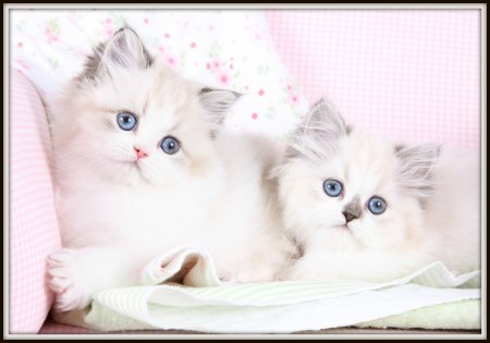 Seal Bi-Color Point Teacup Himalayan Kittens