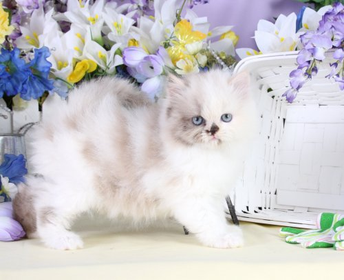 Calico Teacup Himalayan Kitten