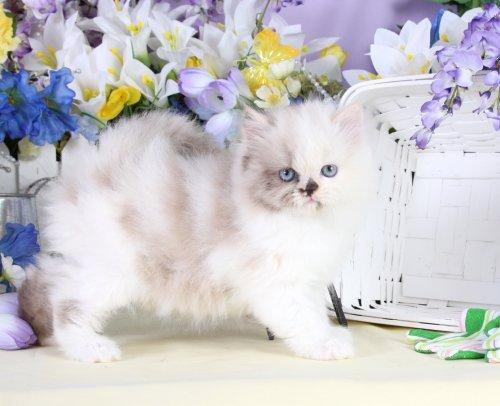 Calico Teacup Himalayan Kitten