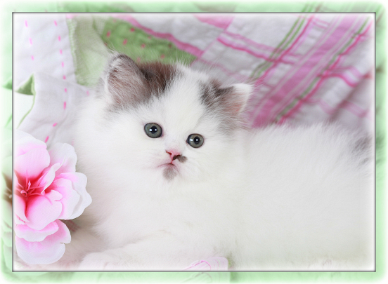 Black Smoke & White Patchwork Teacup Persian Kitten