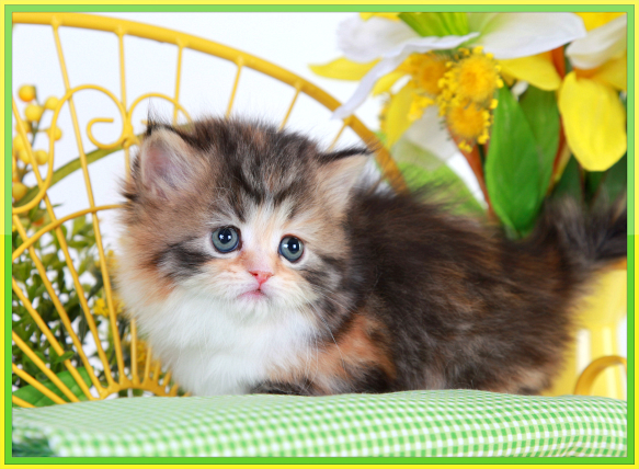 Calico Teacup Rug Hugger Kitten - Doll Face Persian Kittens