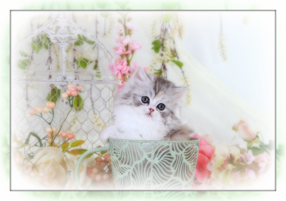 Chinchilla Calico Teacup Persian Kitten