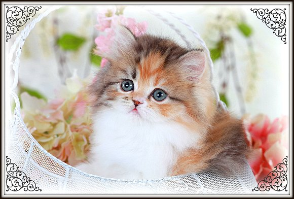 Calico Tabby Teacup Persian Kitten