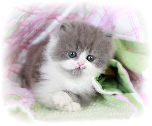 Blue and white bicolor Persian kitten