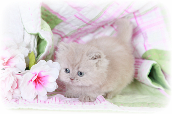 Lilac Teacup Persian Kitten