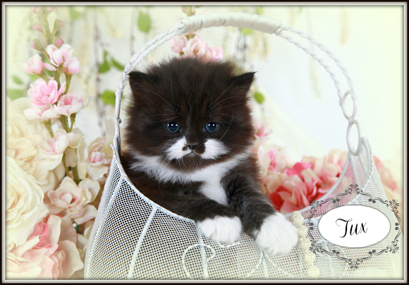 Black and White Teacup Persian Kitten