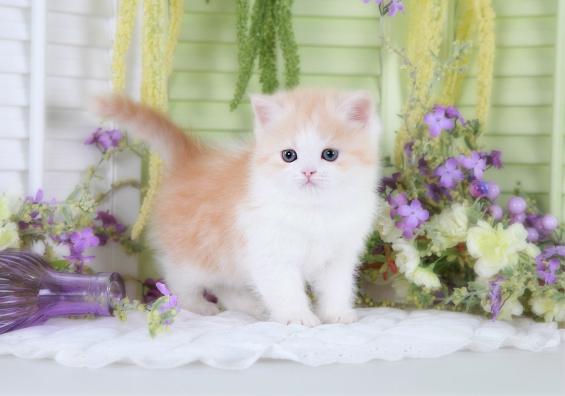 Kitten Short or Long Hair Exotic Short Hair Kitten