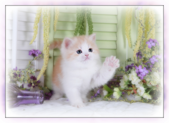 Strawberry Blonde & White Bicolor Teacup Exotic Short Hair Kitten