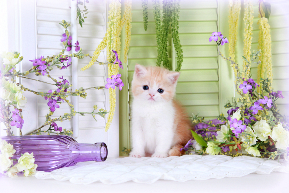 Red Shell Cameo & White Bi-Color Teacup Exotic Short Hair Kitten