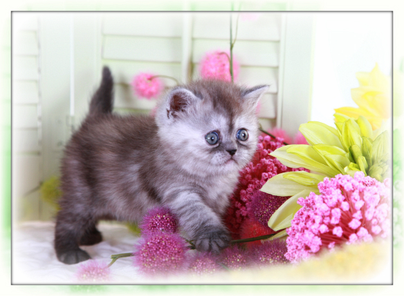 Black Smoke Tortie Exotic Short Hair Kitten