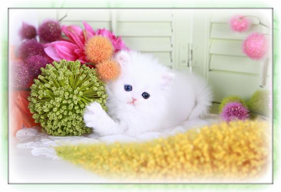 Cashmere White Teacup Persian Kitten
