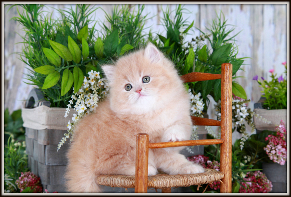 Solid Cream Persian Kitten