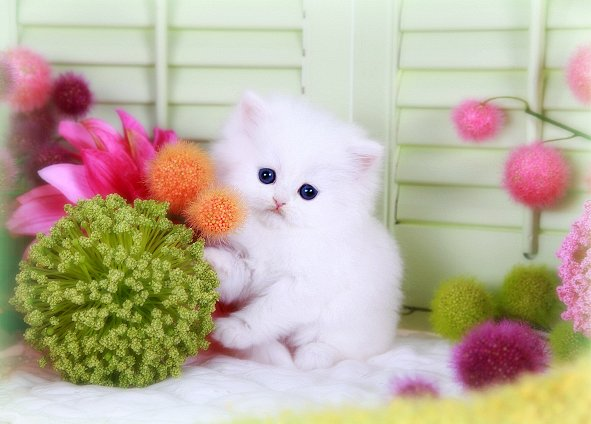 Cashmere White Teacup Persian Kitten for salePre-Loved Persian ...