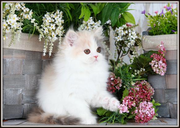 Pastel Calico Teacup Persian Kitten
