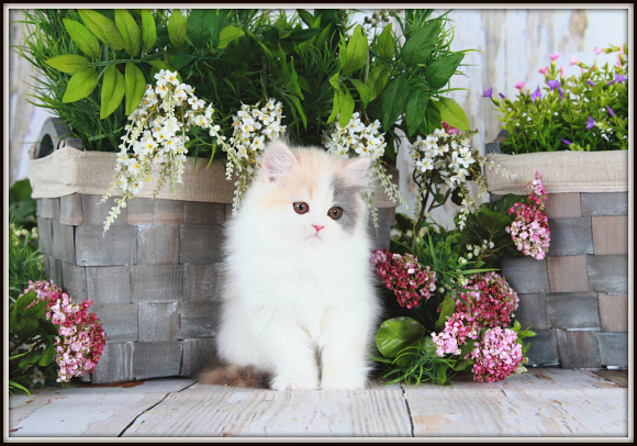 Pastel Calico Teacup Persian Kitten