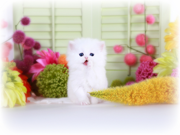 Cashmere White Teacup Persian Kitten