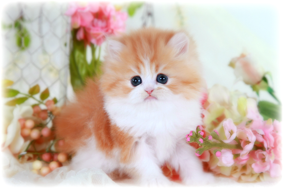 Red & White Bi-Color Teacup Persian Kitten For Sale, Bicolor Persian ...