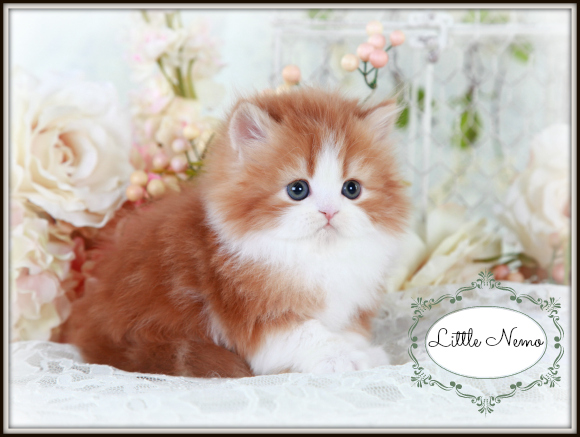 Red & White Bi-Color Teacup Persian Kitten For Sale