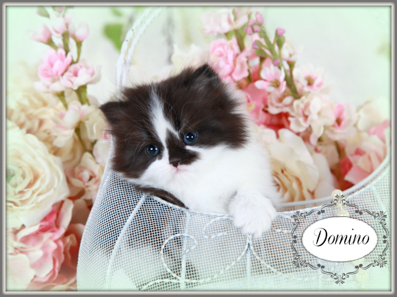 Black and white bicolor Persian Kitten
