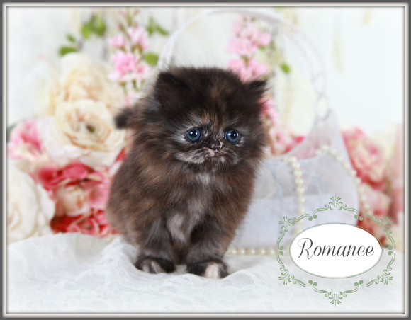 Tortoiseshell Teacup Persian Kitten