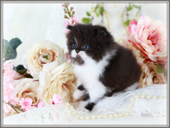 Black and white Persian Kitten