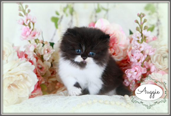 Black and White Toy Persian Kitten