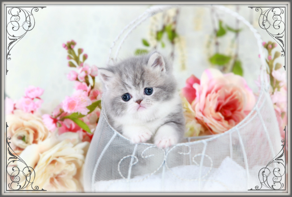 Chinchilla Blue Golden Teacup Persian Kitten