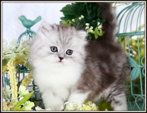 Black Smoke & White Bi-Color Toy Persian Kitten