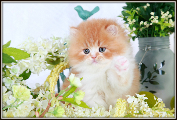 Red & White Bi-Color Toy Persian Kitten