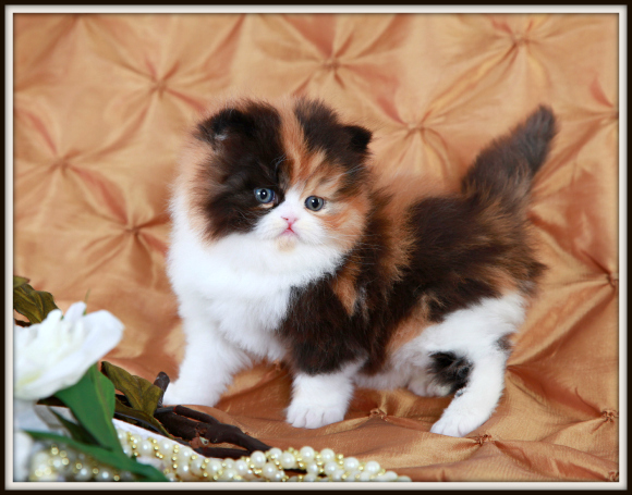 Traditional Calico Persian Kitten