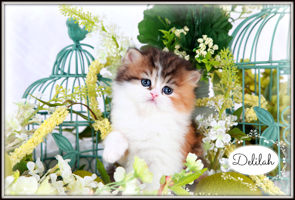 Calico Tabby Patchwork Teacup Persian Kitten