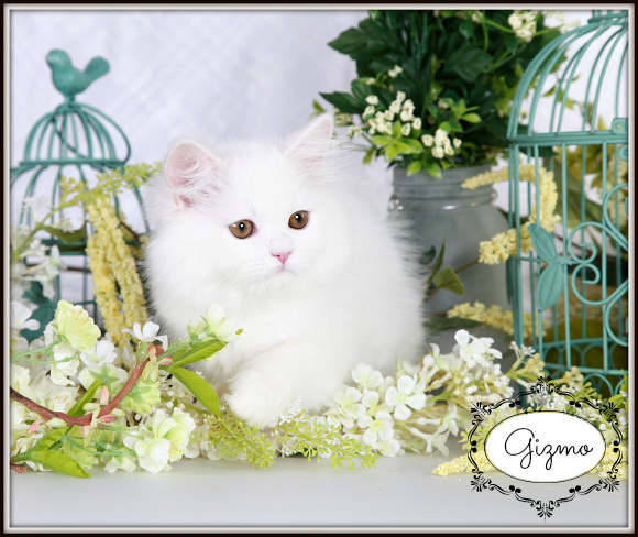 Cashmere White Toy Persian Kitten