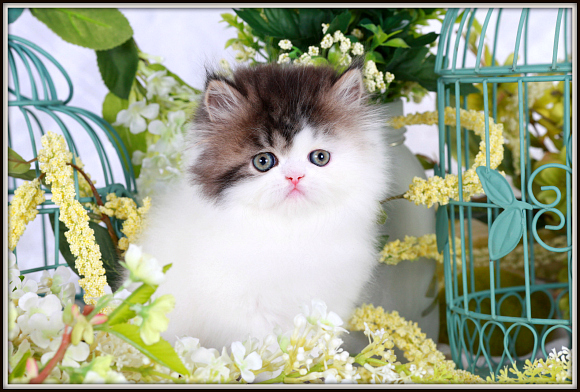 Shaded Golden and White Patchwork Toy Persian Kitten