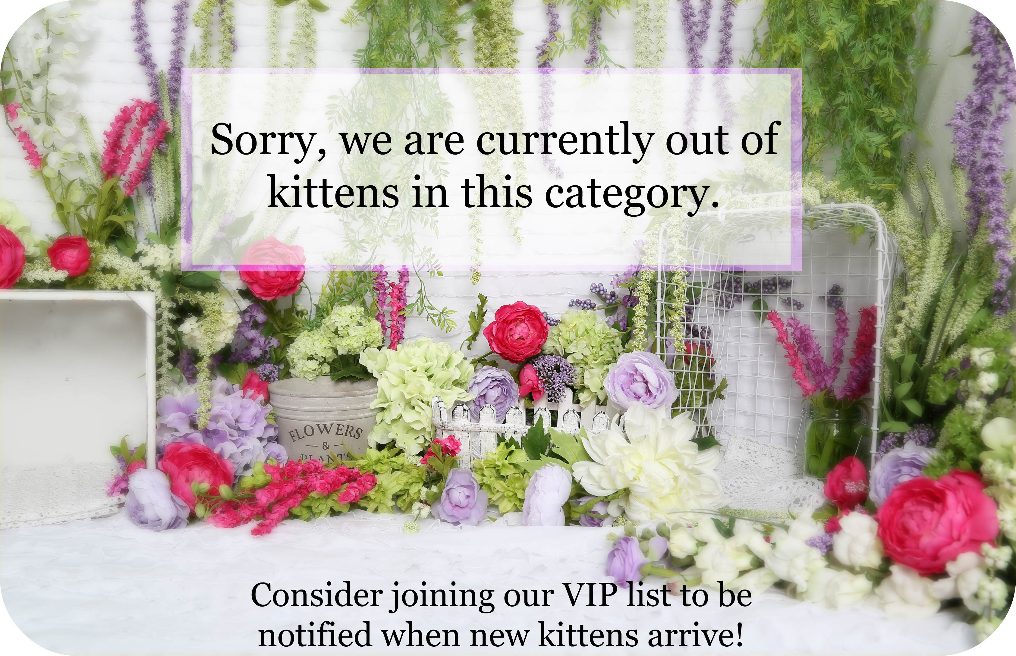 Summer Clearance - Pre-Loved Persian Kittens For Sale - (660) 292 ...