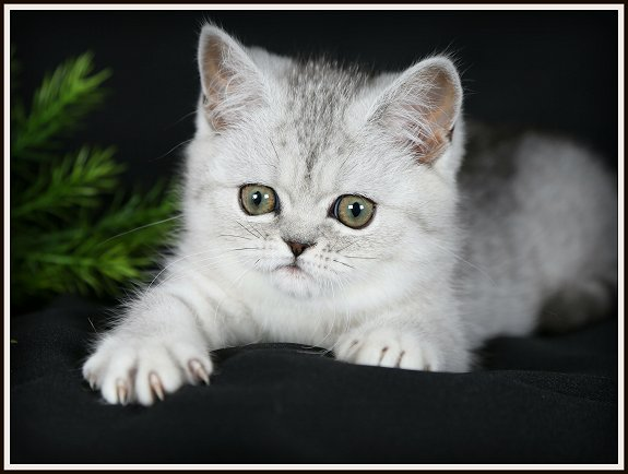 Exotic Short Hair Teacup Kitten