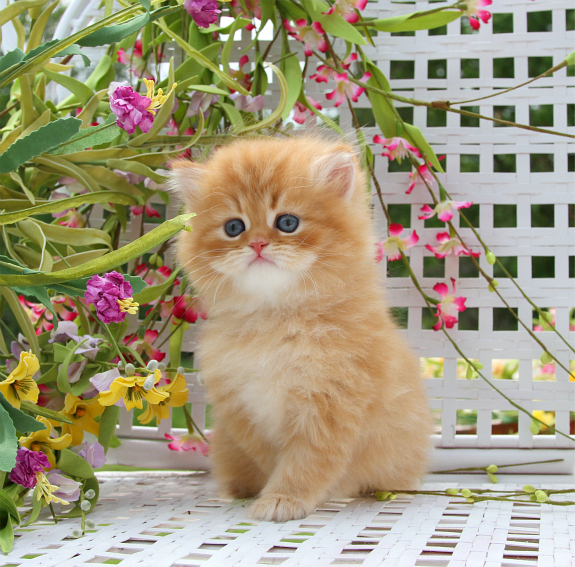 Red Tabby Persian Kitten